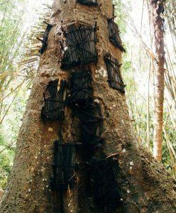 Pohon Tarra