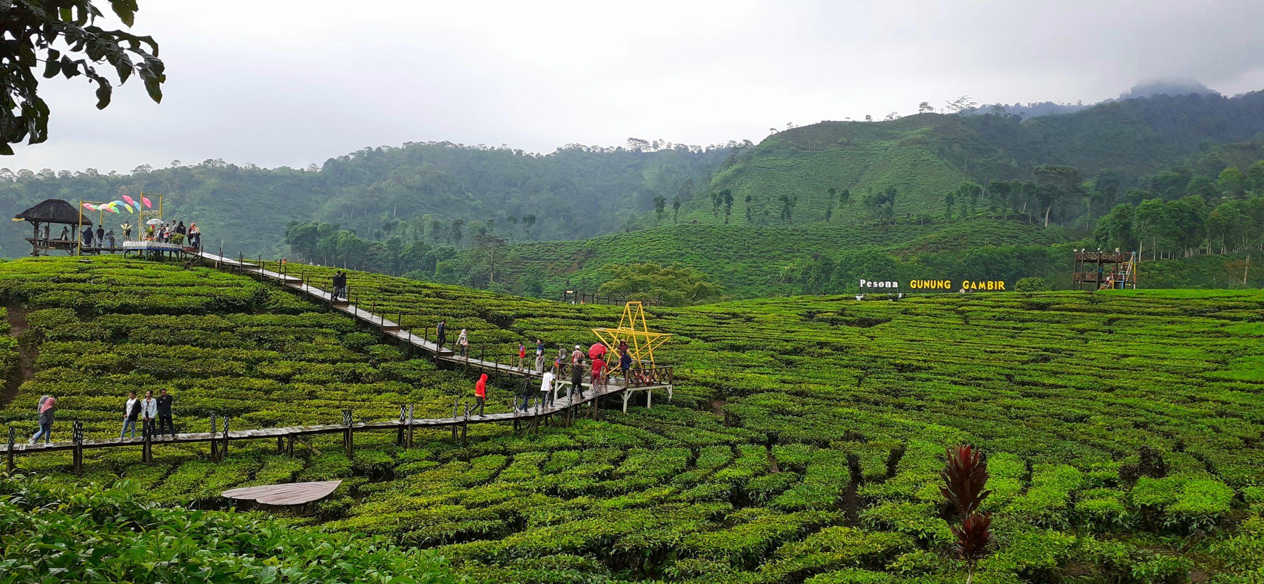 Kebun Teh Gunung Gambir di Kabupaten Jember